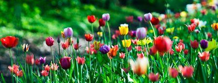 multicolor sunny tulips bed. small GRIP. horizontal shot Stock Photo
