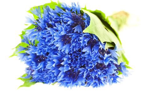 blue cornflower bunch isolated on white background. horizontal shot