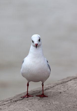 single white seagull. closeUp shot. small GRIP photo
