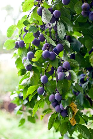 plum tree in overgrown garden. small GRIP. vertical shot Stock Photo
