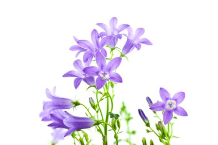 campanula flowers isolated on white background. horizontal shot Stock Photo