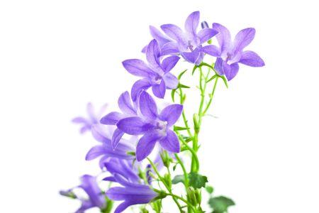 campanula flowers isolated on white background. horizontal shot Standard-Bild