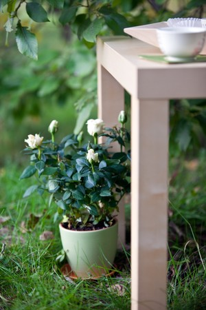 white rose in ceramic pot and wood table in garden - wedding decoration. small GRIP Stock Photo