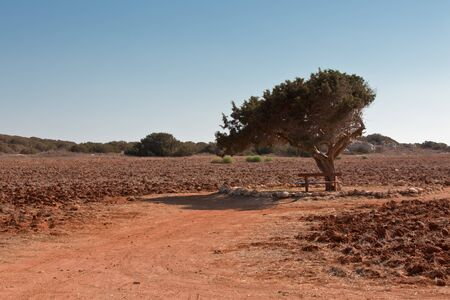 Crete Landscape: Old Olive tree in a red field  photo