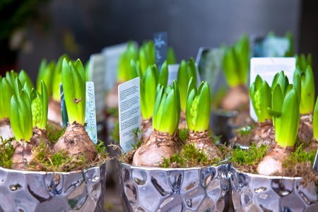 Growing Hyacinths in a decorative pots. Horizontal shot photo
