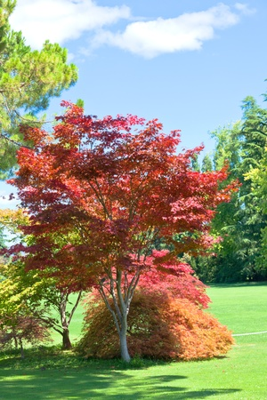 Japanese Red Maple at sunny summer day in a park Stock Photo