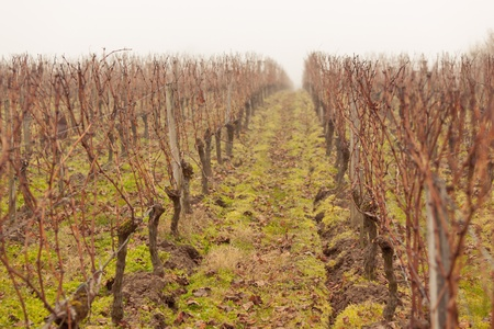 Winter in France: Vineyard rows in the mist. Toned and vignetted image