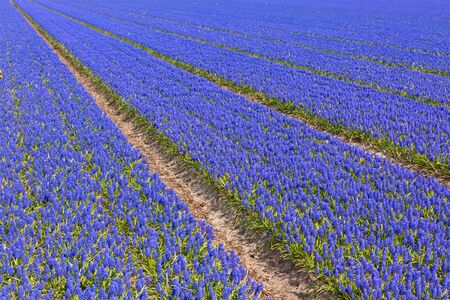 Blue Muscari (hyacinth) field in Holland. Horizontal shot photo