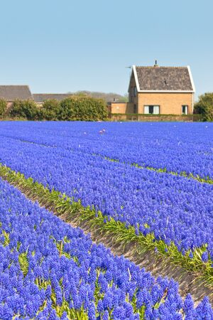 Blue Muscari (hyacinth) field in Holland. Vertical shot photo