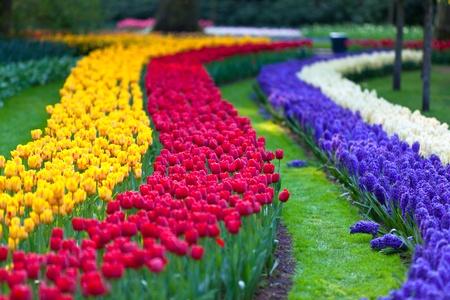 Bright flowerbed in Keukenhof - famous Holland spring flower park photo