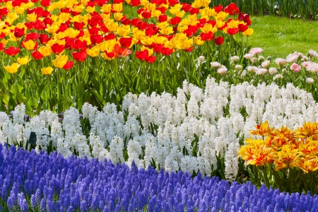 Bright flowerbed in Keukenhof - famous Holland spring flower park photo