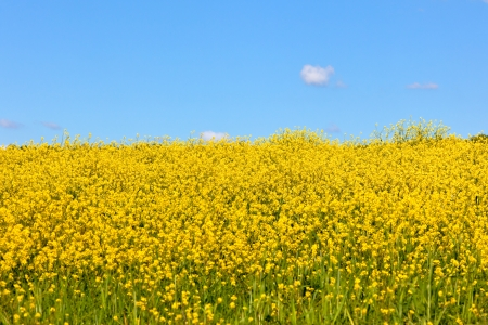 Yellow rape field and bright blue sky landscape photo