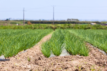 Cultivated field: fresh green onion rows. horizontal shot Stock Photo - 14511600