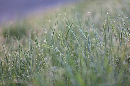 Green grass with Raindrops macro bokeh. Horizontal shot photo