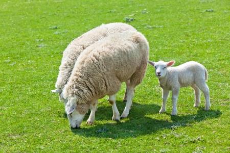 Sheep and lamb on the green grass. Horizontal shot