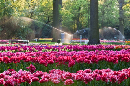 Tulips in sunset light. Bright flowerbed in Keukenhof - famous Holland spring flower park photo