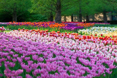 Bright flowerbed in Keukenhof - famous Holland spring flower parkÊ photo