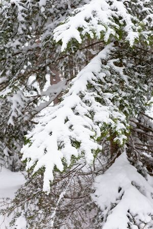 Snowy Fir-tree branches in the woods. Winter vertical shot Stock Photo - 15976282
