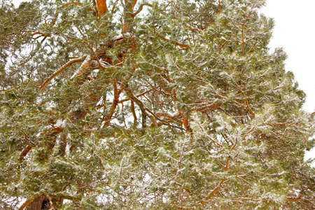 Snowy pine branches in the woods. Winter horizontal shot Stock Photo - 15976999