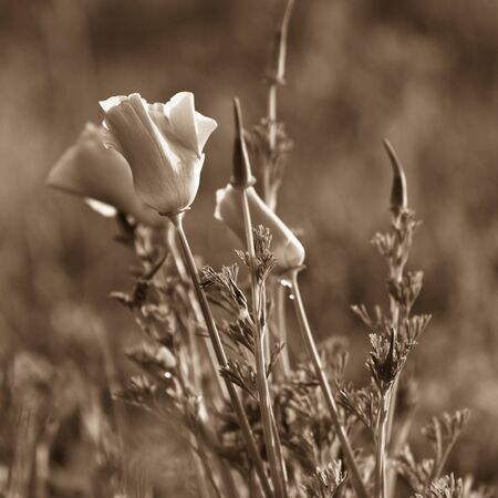 Poppies in a summer meadow. Sepia toned image photo