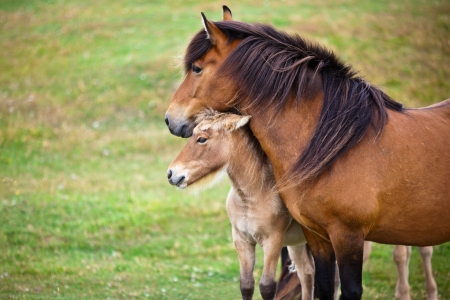 Brown Horse and Her Foal in a Green Field of Grass. Horizontal shot  photo