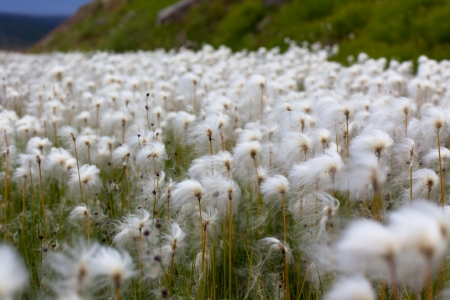 Arctic cotton grass (Eriophorum) field in Iceland. Horizontal shot