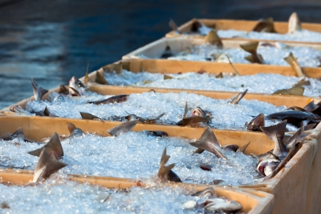 Catch of the day - Fresh Fish in Shipping Containers  Horizontal shot
