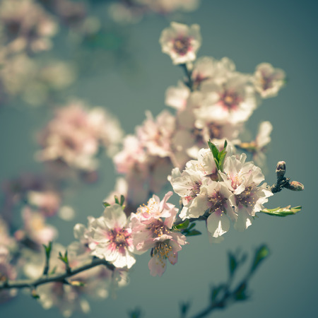Pink Flowers Blooming Peach Tree at Spring   photo