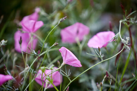 arvensis: Pink Bindweeds in a field  Horizontal shot with selective focus