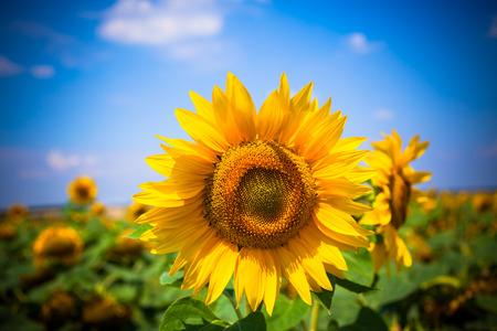 Sunflowers Field  Bright Blue Sky  Horizontal shot photo