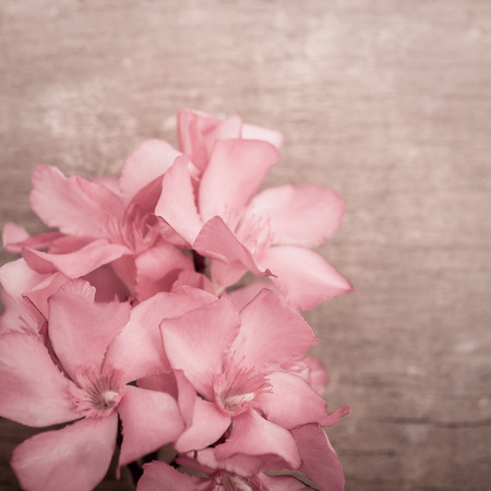 Pink oleander flowers close up on wooden background  Square shot photo