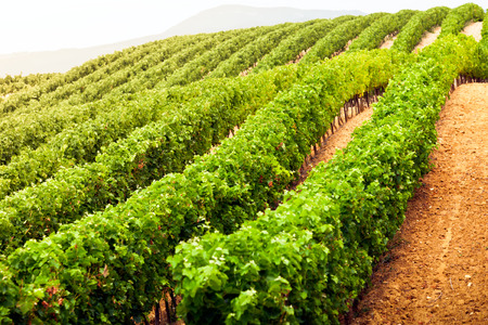 diminishing: Diminishing rows of Vineyard Field in Southern France. Horizontal shot with selective focus Stock Photo