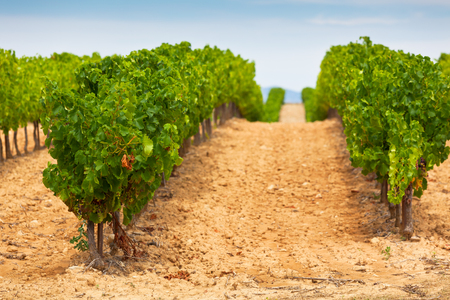 non cultivated: Diminishing rows of Vineyard Field in Southern France. Horizontal shot with selective focus Stock Photo