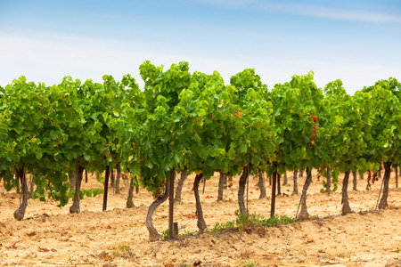 non cultivated land: Rows of Vineyard Field in Southern France. Horizontal shot with selective focus Stock Photo