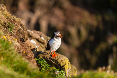 puffin: Atlantic puffin -fratercula arctica- on a coast cliff in Western Iceland