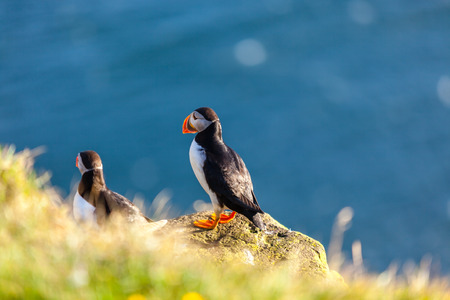 fratercula: Atlantic puffin -fratercula arctica- on a coast cliff in Western Iceland