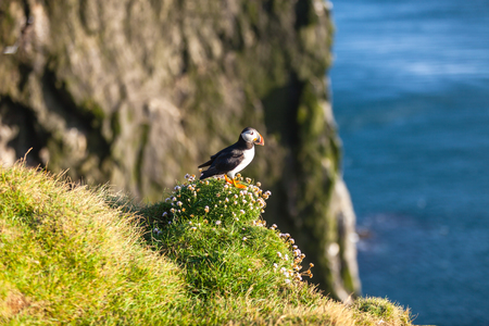 fratercula: Atlantic puffin -fratercula arctica- on a coast cliff in Western Iceland