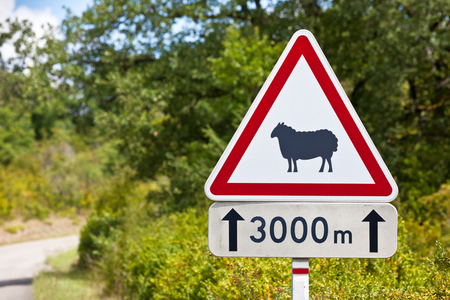 sheep warning: Triangular traffic sign warning of sheep on the road on a rural road background