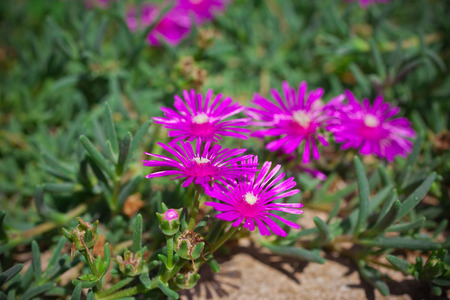 ice plant: Lampranthus (Ice Plant) flowers in the nature