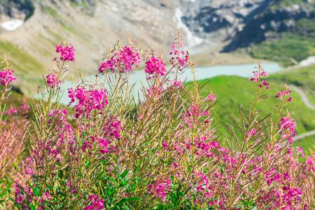 alpen: Swiss Alpen mountain lake in summer with wild pink flowers on the foreground