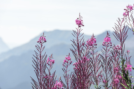 spring season: Swiss Apls mountains outline with wild pink flowers on the foreground Stock Photo