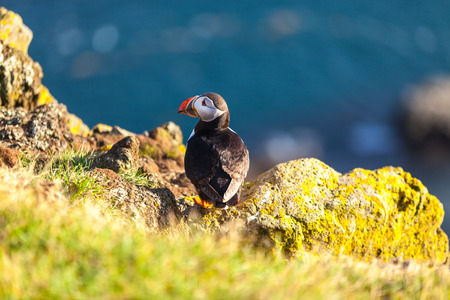 puffins: Atlantic puffin -fratercula arctica- on a coast cliff in Western Iceland