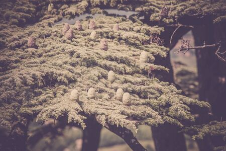 rosin: Young shoots of pine trees in the spring forest. Horizontal filtered shot with a selective focus Stock Photo