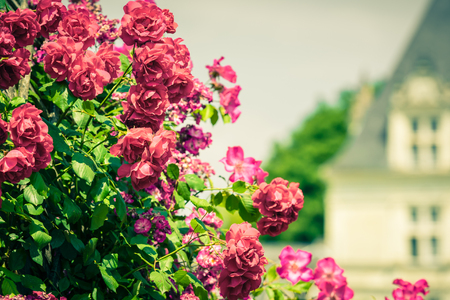 Bush of beautiful roses in a garden. Filtered shot