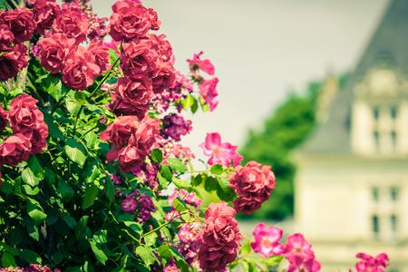 a garden: Bush of beautiful roses in a garden. Filtered shot