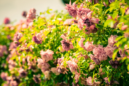 filtered: Bush of beautiful roses in a garden. Filtered shot