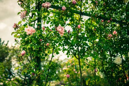 filtered: Bush of beautiful climbing roses in a garden. Filtered shot Stock Photo