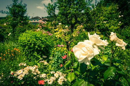 filtered: Faded beautiful white roses in a garden. Filtered shot