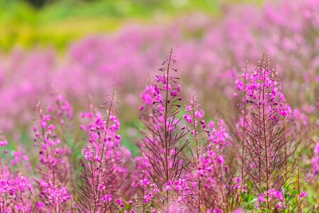 fireweed: Fluffy pink fireweed flowers. Close up shot