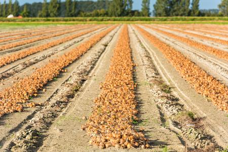 onion: cebollas recogidas en un campo rural. Disparo con un enfoque selectivo